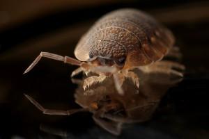 armadillo-termite